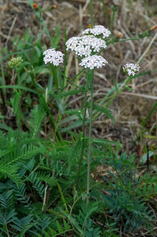 Achillea millefolium 12