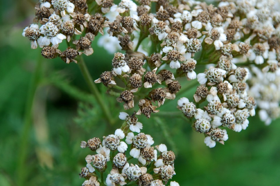 Achillea millefolium 16
