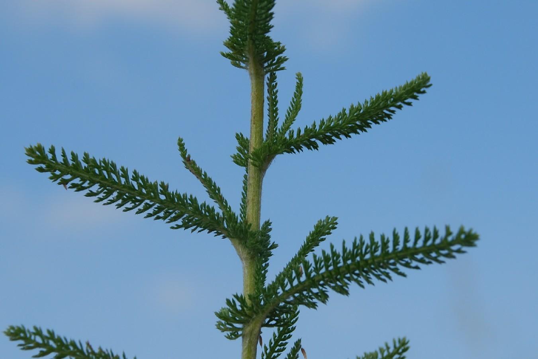 Achillea millefolium 4