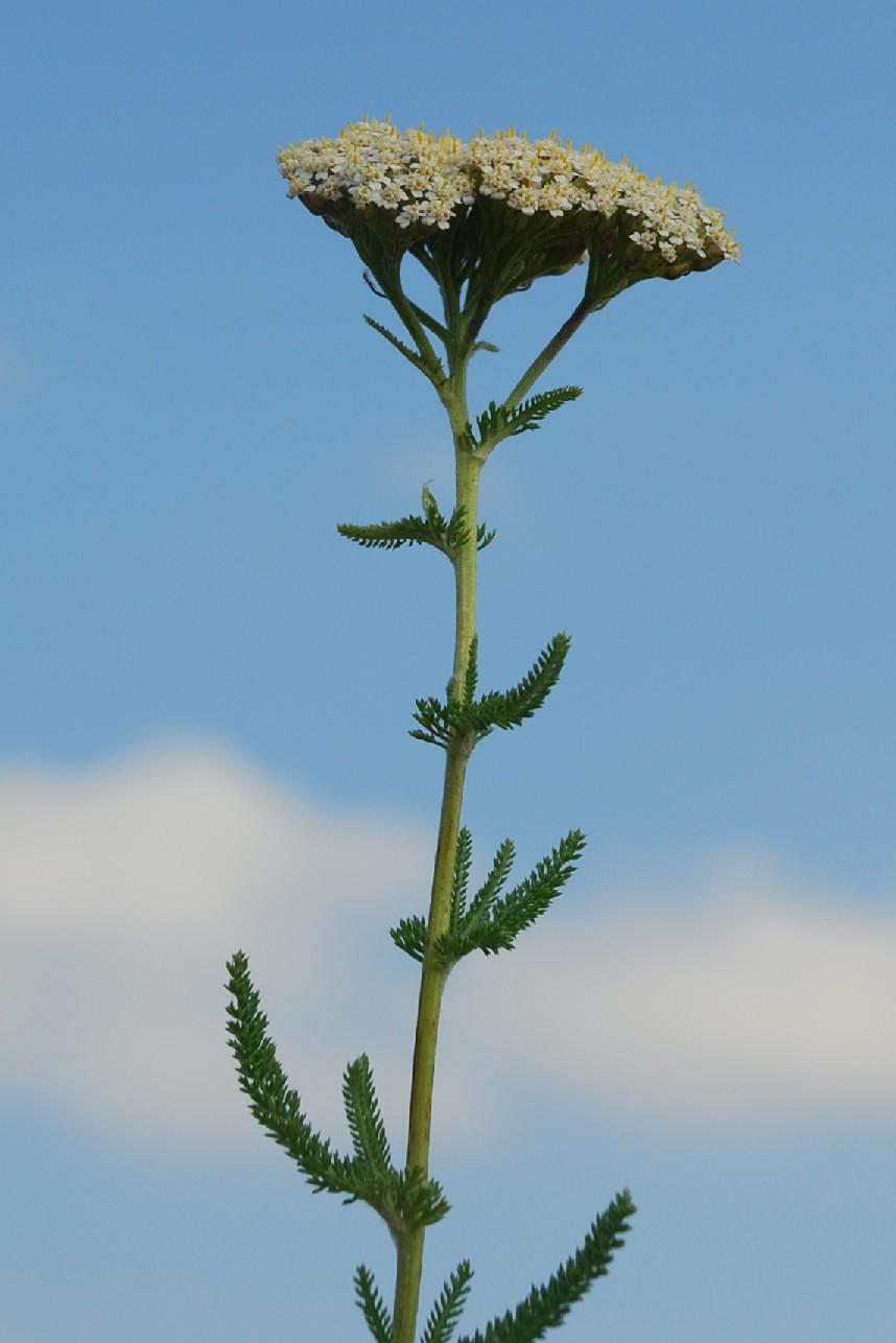 Achillea millefolium 5