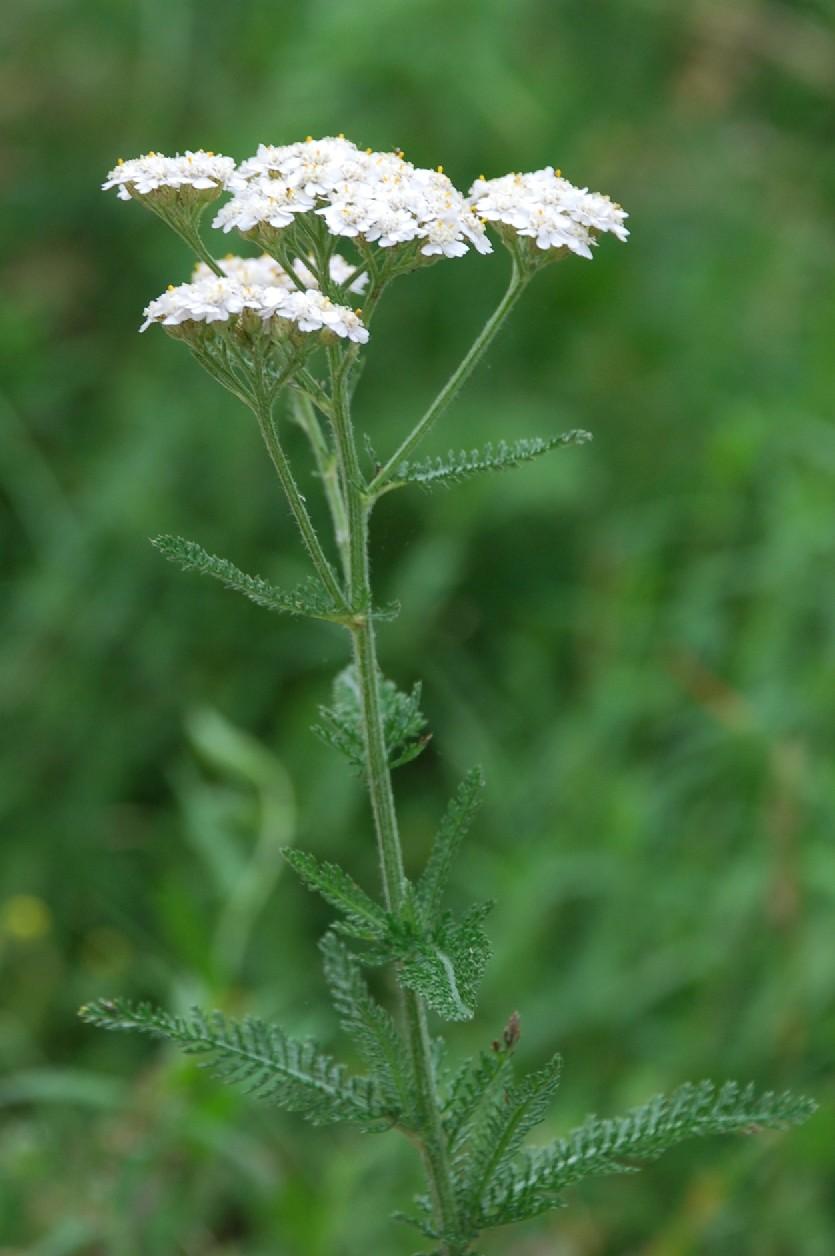 Achillea millefolium 6