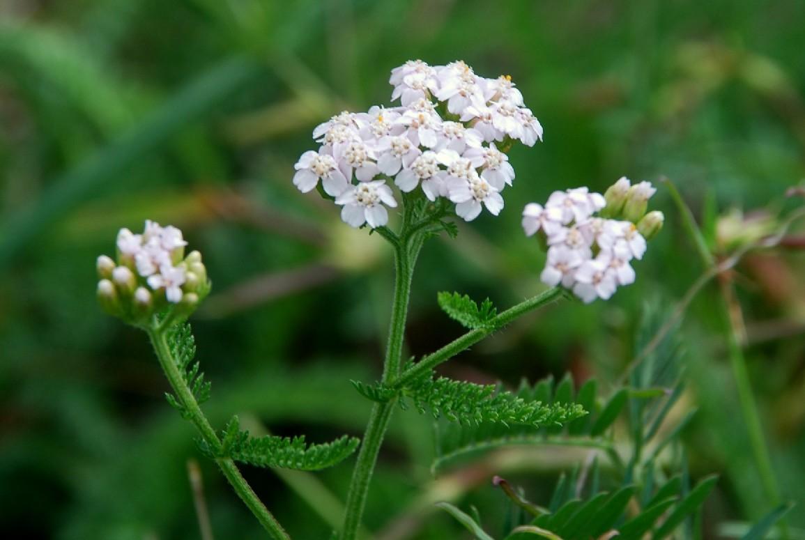 Achillea millefolium 8
