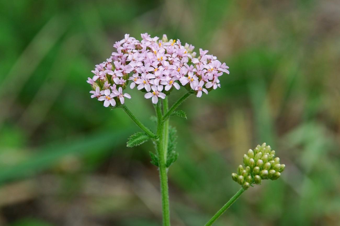 Achillea millefolium 9