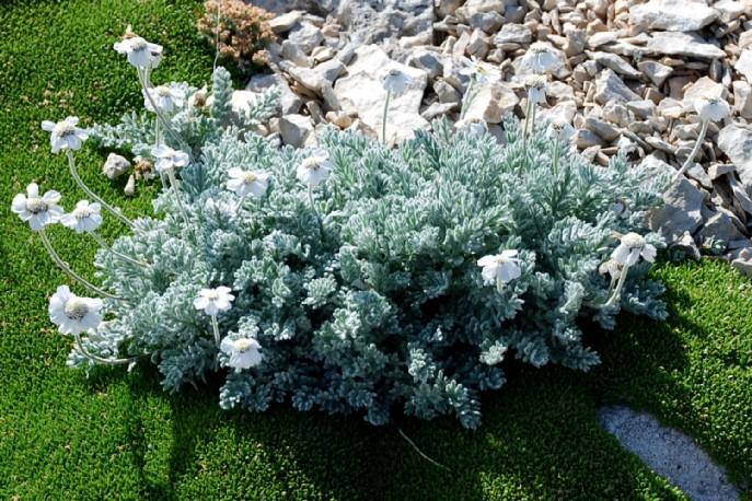 Achillea oxyloba subsp. barrelieri 2