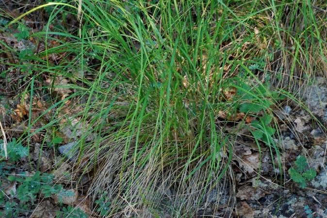Achnatherum bromoides 10