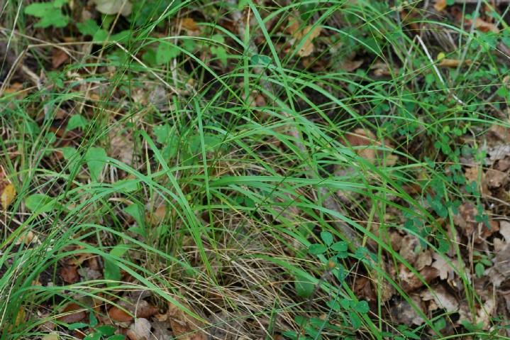 Achnatherum bromoides 13