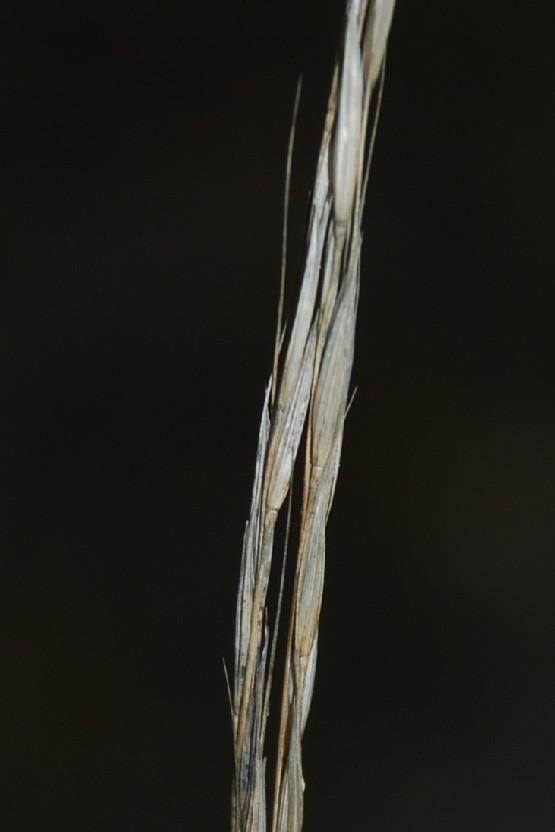 Achnatherum bromoides 6