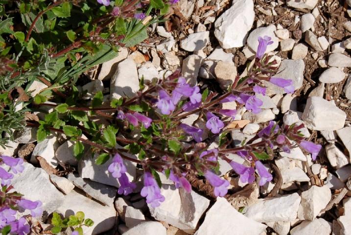 Acinus alpinus subsp. alpinus