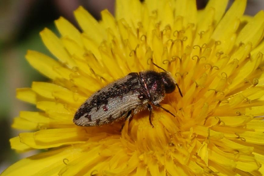 Acmaeodera pilosellae - Buprestidae
