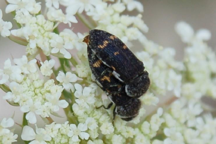 Acmaeoderella flavofasciata - Buprestidae