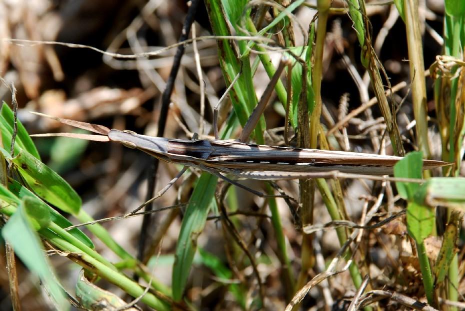 Acrida ungarica - Acrididae  (Acrida mediterranea)