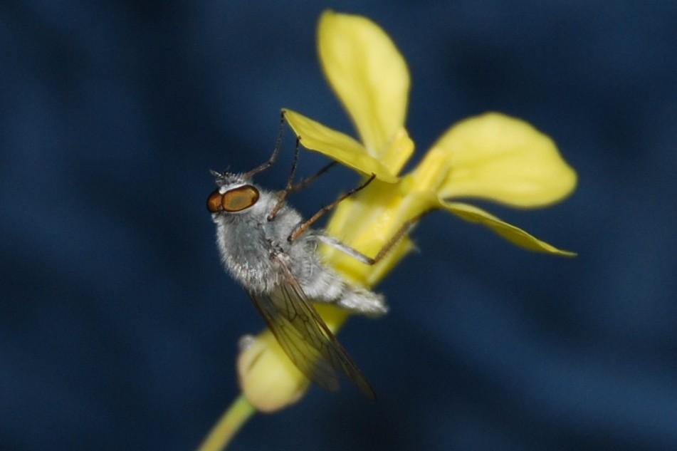 Acrosathe annulata - Therevidae