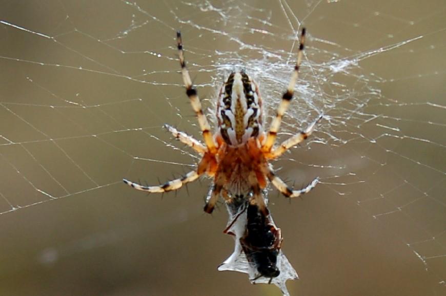 Aculepeira armida - Araneidae