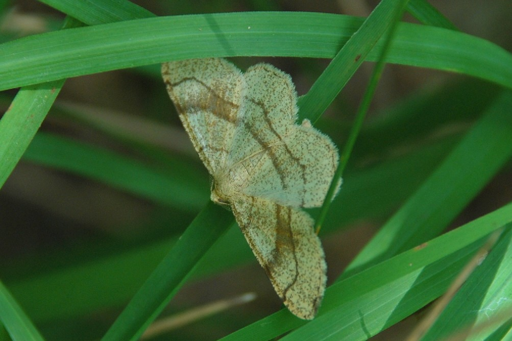 Adactylotis contaminaria - Geometridae