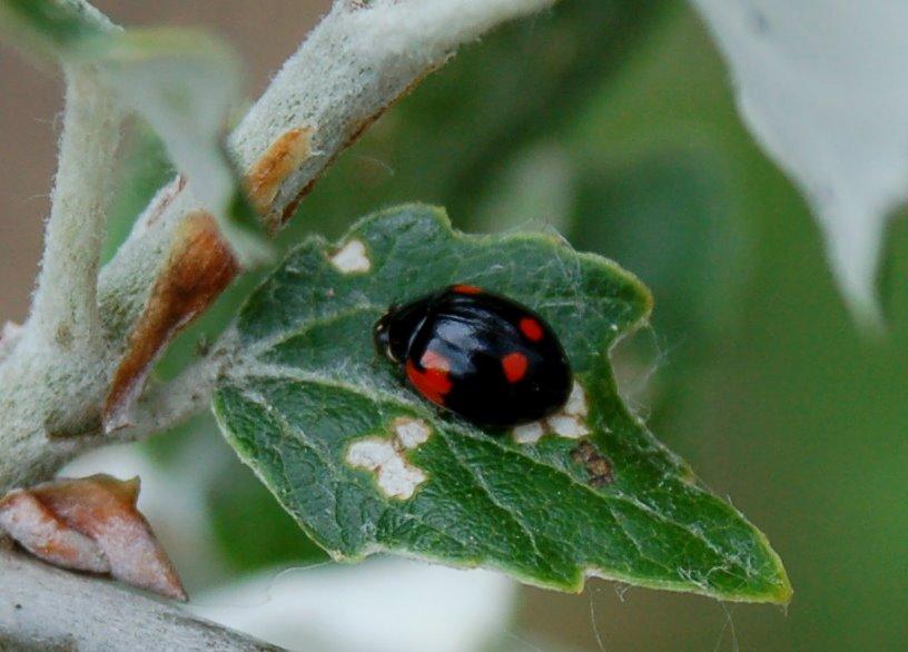 Adalia bipunctata - Coccinellidae