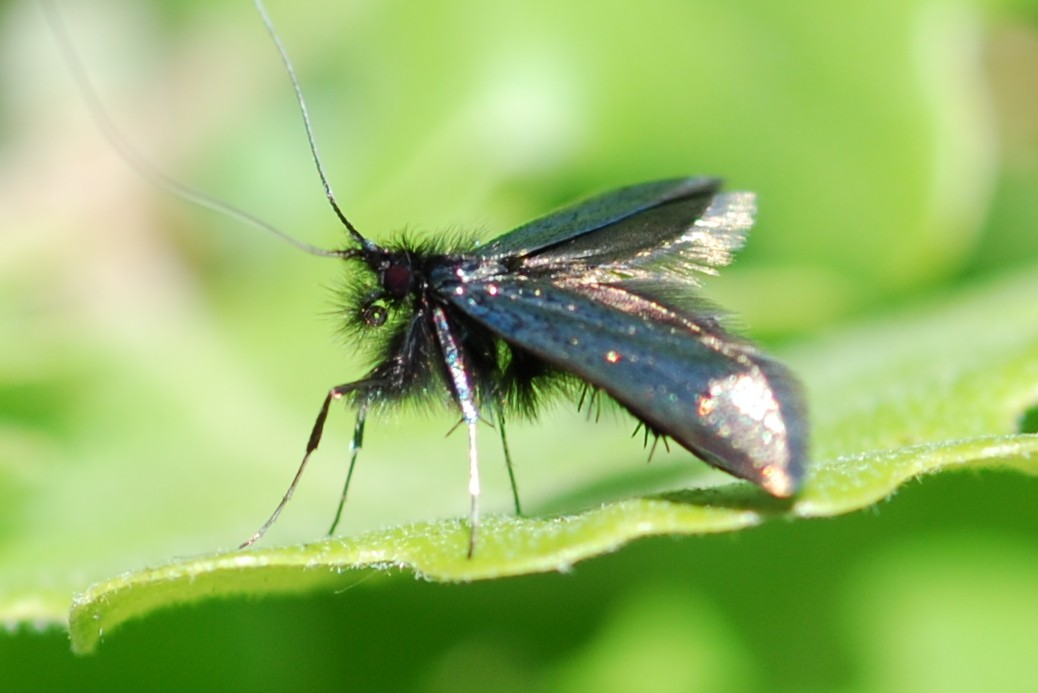 Adela reamurella - Adelidae
