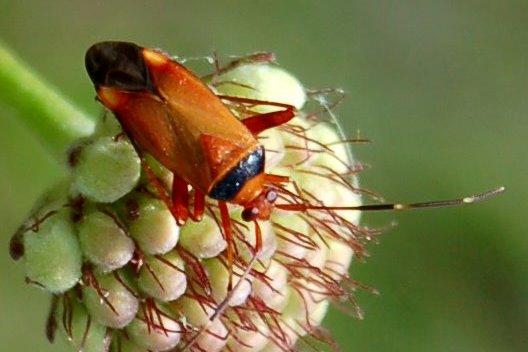 Adelphocoris vandalicus-Miridae