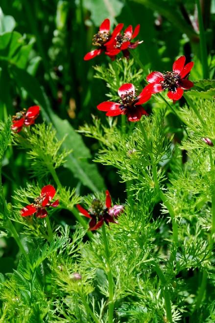 Adonis annua subsp. annua