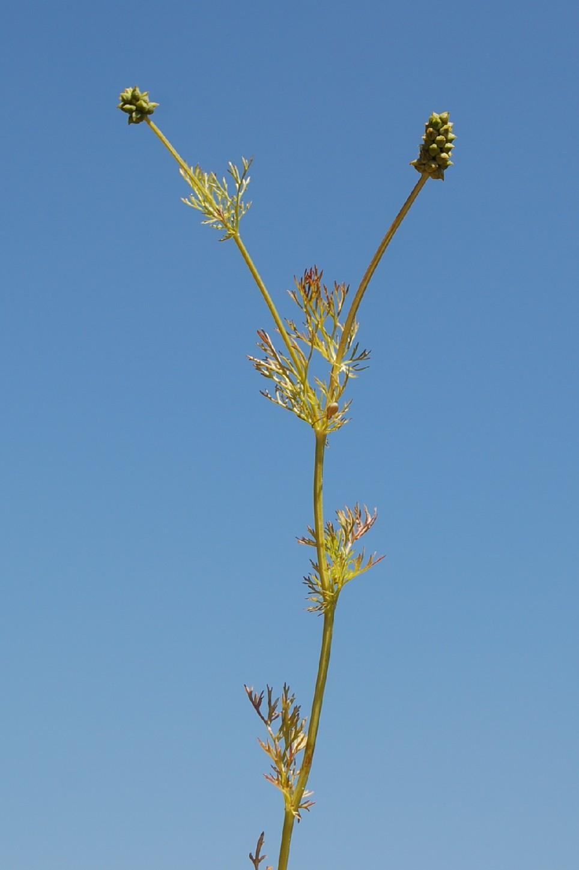 Adonis annua subsp. annua 10