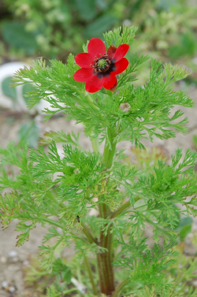 Adonis annua subsp. annua 11