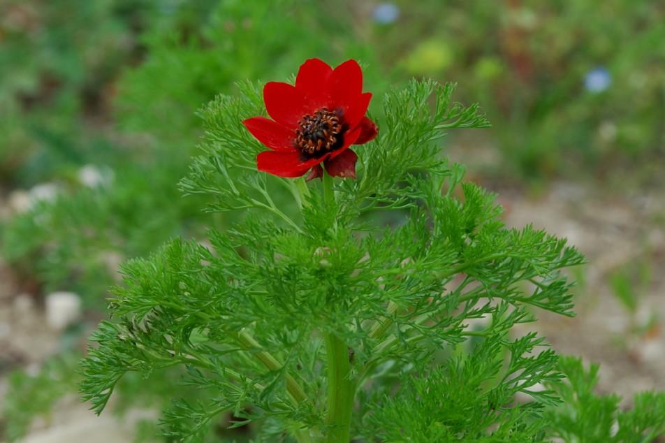 Adonis annua subsp. annua 12