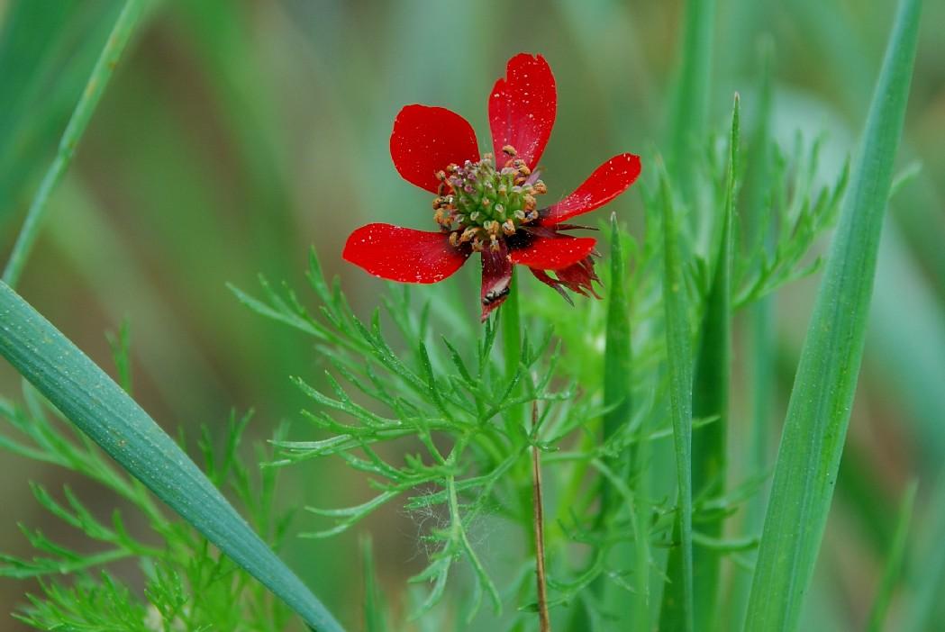 Adonis annua subsp. annua 17