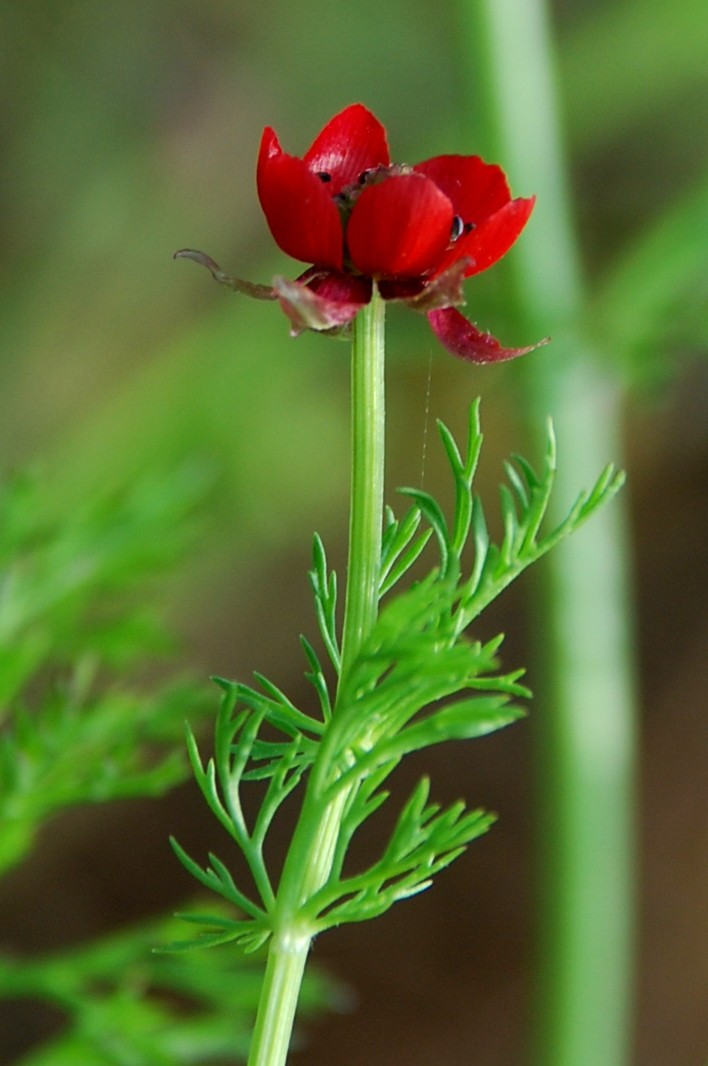 Adonis annua subsp. annua 21
