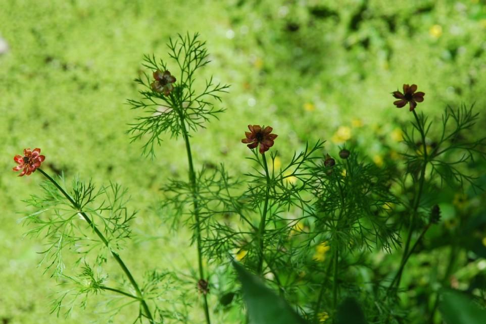 Adonis annua subsp. annua 7