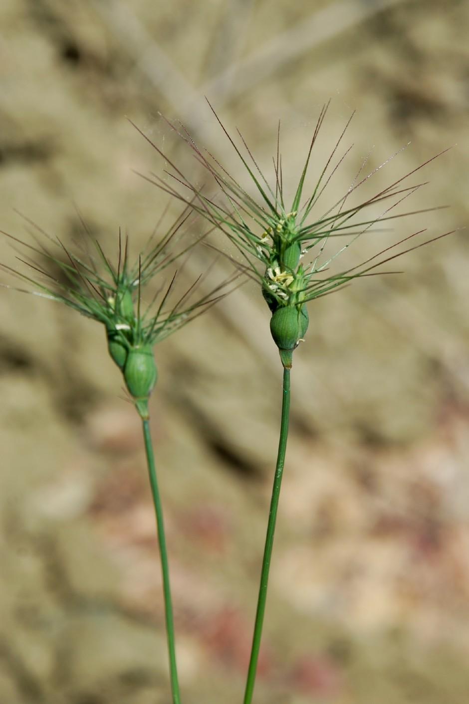 Aegilops geniculata 4