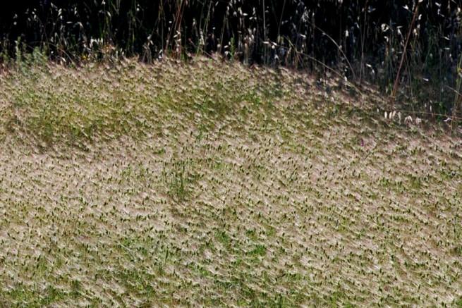 Aegilops geniculata 9