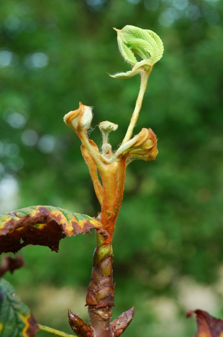 Aesculus hippocastanum 4