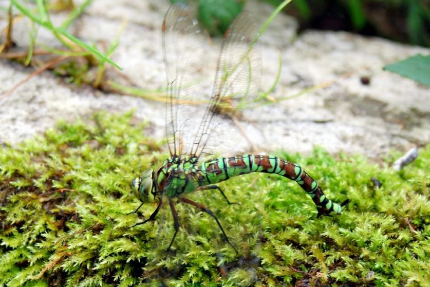 Aeshna cyanea -  Aeshnidae