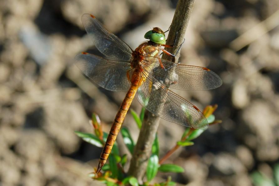 Aeshna isoceles -  Aeshnidae