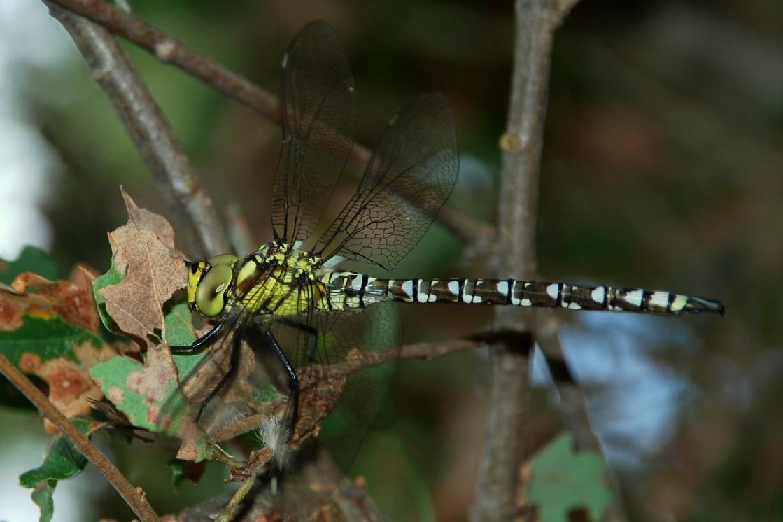 Aeshna sp. - Aeshnidae