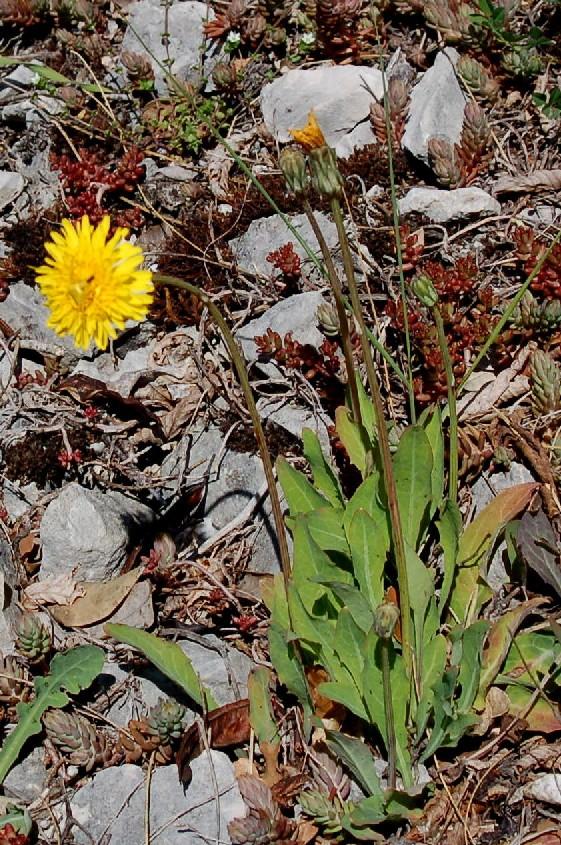 Aetheorriza bulbosa subsp. bulbosa