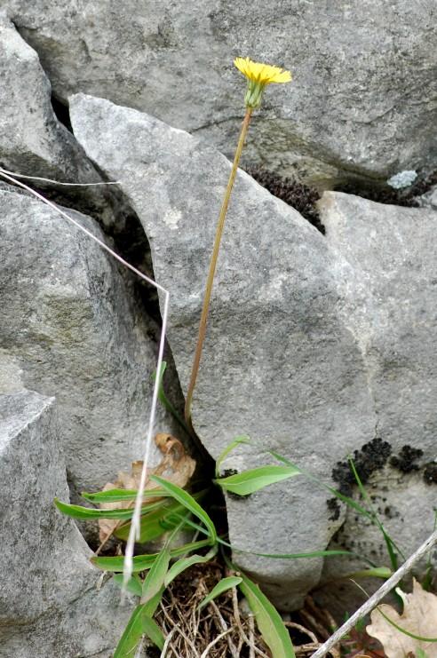 Aetheorriza bulbosa subsp. bulbosa 4