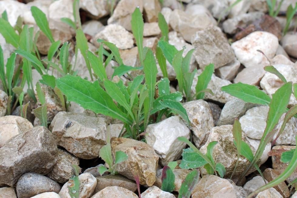 Aetheorriza bulbosa subsp. bulbosa 7