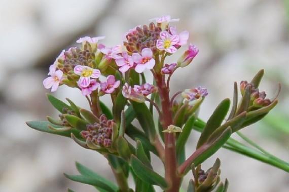 Aethionema saxatile subsp. saxatile