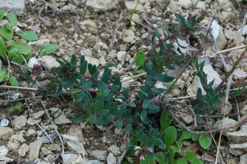 Aethionema saxatile subsp. saxatile 14
