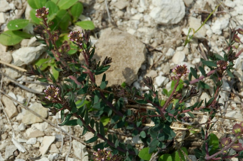 Aethionema saxatile subsp. saxatile 15