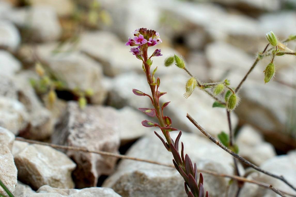 Aethionema saxatile subsp. saxatile 22