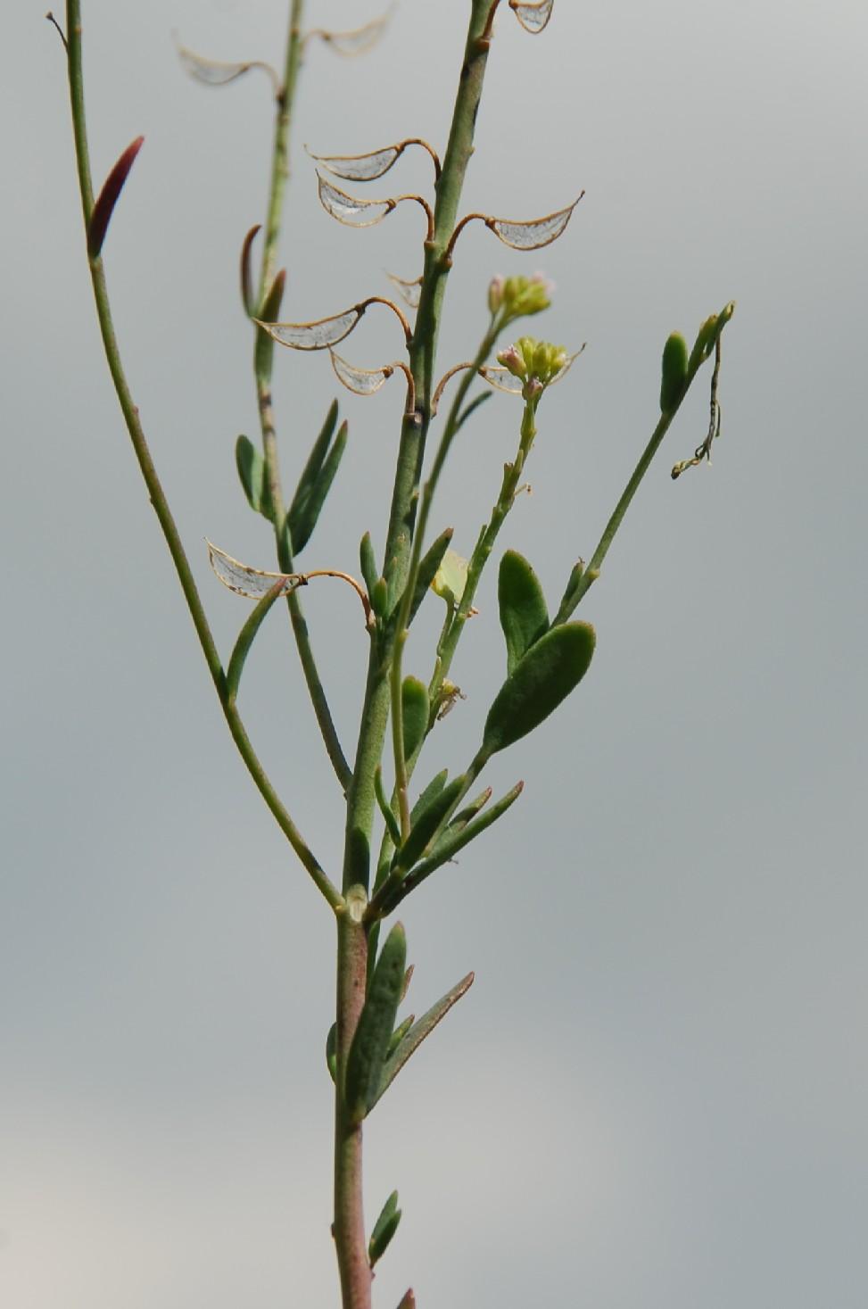 Aethionema saxatile subsp. saxatile 8