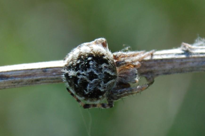 Agalenatea redii - Araneidae