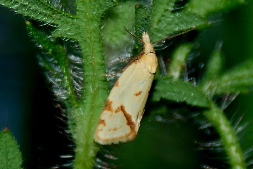 Agapeta hamana - Tortricidae