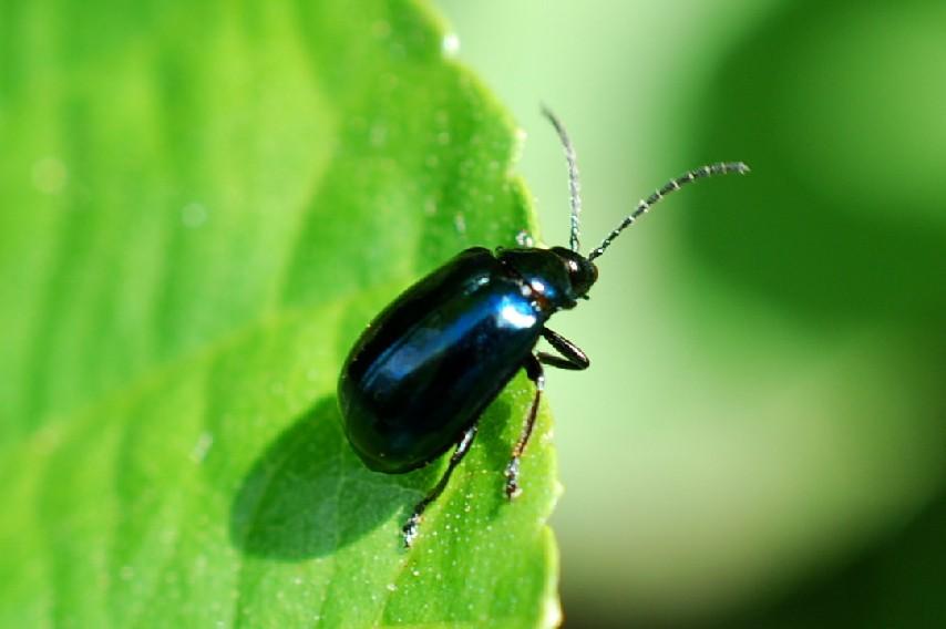 Agelastica alni - Chrysomelidae
