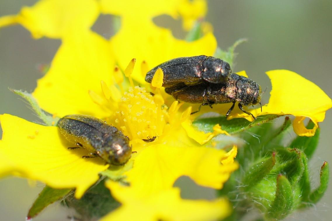 Agrilus sp. - Buprestidae