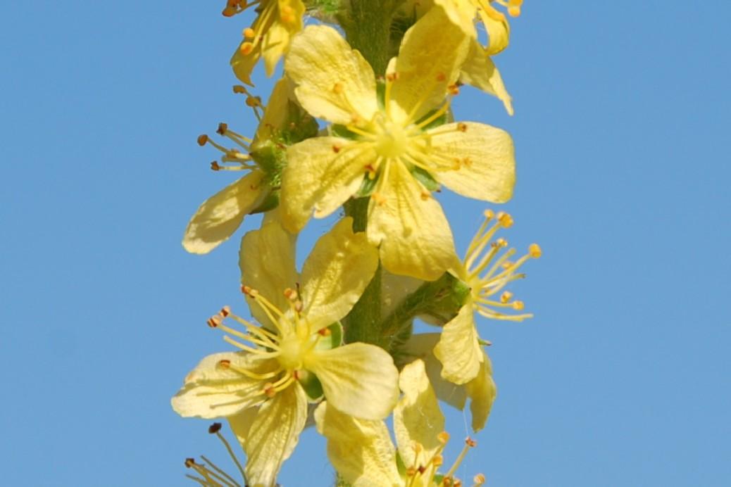 Agrimonia eupatoria subsp. eupatoria 12
