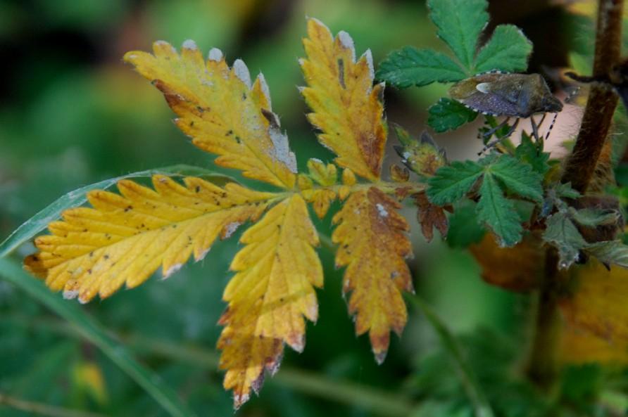 Agrimonia eupatoria subsp. eupatoria 4