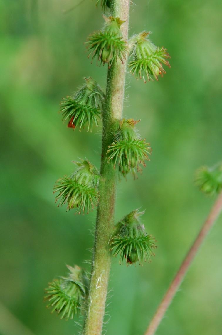 Agrimonia eupatoria subsp. eupatoria 8