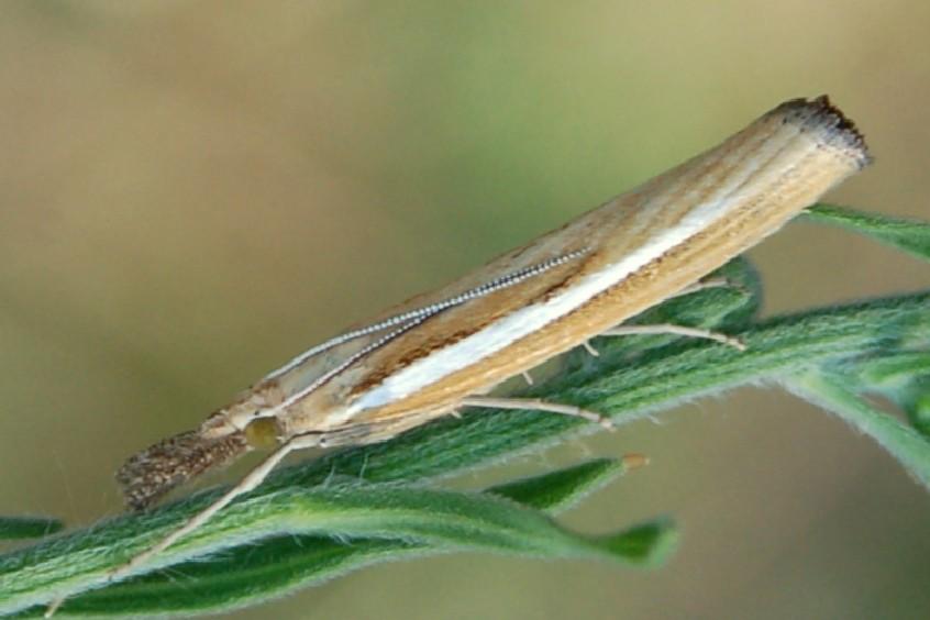 Agriphila sp. - Crambidae